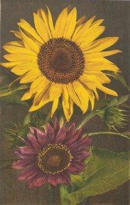 Flowers. Sunflowers Beauiful Swiss postcard 1950s
