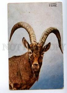 157016 HUNT Goat Portrait by Ludwig FROMME vintage TSN PC