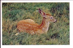 Deer, Shubenacadie Wildlife Park Nova Scotia,