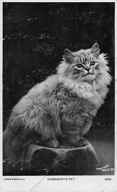 Somebody's Pet, Cat Chat Katze, Rapid Photo 1908