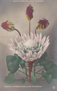 South African Protea Cynaroides Antique Wild Flowers Postcard