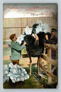 Animals - Ostrich - Picking The Plumes, Cawston CA Farm, Vintage c1909 Postcard