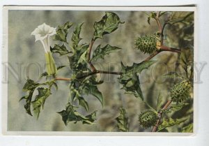 428080 Flower Datura Stramonium Vintage Sammelwerk Tobacco Card w/ ADVERTISING