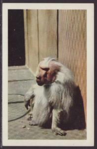 Hamadryas Baboon San Diego Zoo,CA Postcard