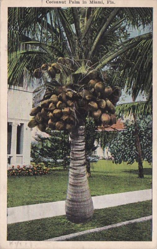 Florida Miami Coocoanut Palm With Fruit 1925