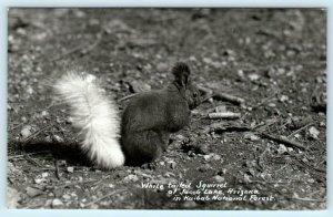 RPPC  JACOB LAKE, AZ ~  White Tailed Squirrel KAIBAB NATIONAL FOREST   Postcard
