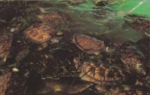 Green Turtles feeding on Turtle Grass , Mariculture Ltd. Sea Turtle Farm , GR...