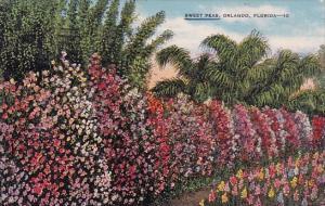 Sweet Peas Orlando Florida 1944