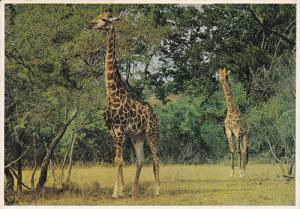 Giraffe , South Africa , PU-1962