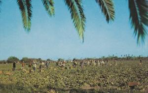 Harvesting Lettuce, SOUTH TEXAS, 40-60'S