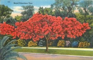 United States royal poinciana tree postcard