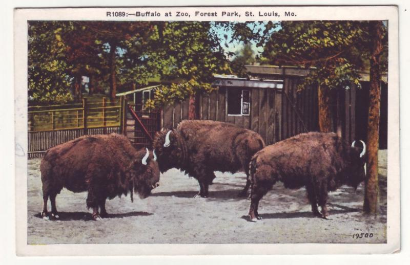 P513 JLs vintage buffalo at zoo, forest park st louis mo.
