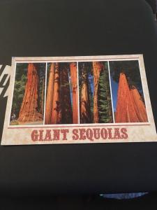 Vtg Postcard: Giant Sequoias , Sierra Nevada Mountains