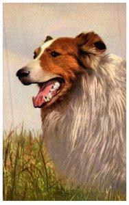 Dog , Collie ,
