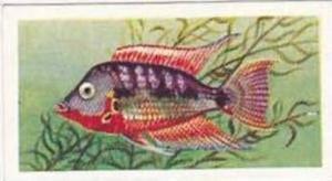 Mitchum Foods Vintage Trade Card Aquarium Fish 1957 2nd Series No 32 Firemouth