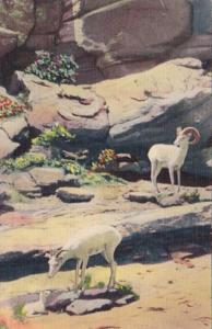 Texas Mountain Sheep Of The Great Southwest