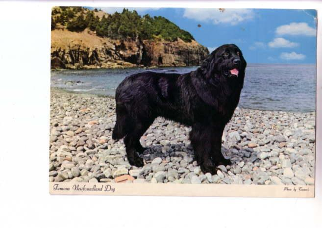 Black Sambo Champion, Famous Newfoundland Dog, Oversize, Photo Tooton's