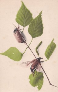 German Stag Beetle Wasp Type Insect 1907 Old Postcard
