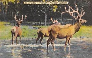 American Elk, Wapiti New York Zoological Park, USA Deer Unused