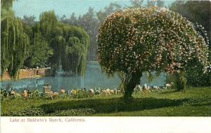 Baldwins Ranch California~Wonderful Willow Trees~Lake~1906 Postcard