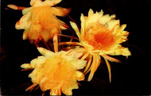 Cactus Night Blooming Cereus 1954