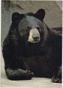 BLACK BEAR, unused Postcard