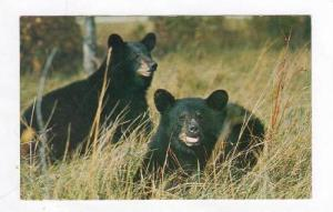 Native Black Bears, Great Smoky Mountains National Park, Southern Appalachian...