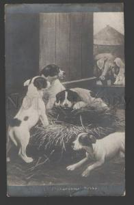 107596 JACK RUSSELL TERRIER Puppies & PIG by COBBE vintage PC