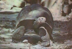 Tortoise Looking In Distance In Cuba Postcard