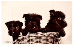 Dog , Scotch Terriers Puppies