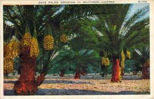 Date Palms Growing in Southern Arizona G174 Boers Unused White Border Postcard