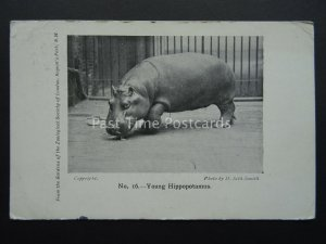 YOUNG HIPPOPOTAMUS Regents Park Zoological Society of London c1922