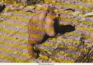 Canada The Whistling Marmot