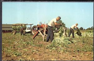 Tobacco Harvest,Vernon County,WI