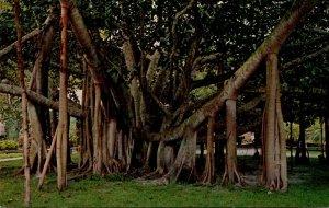Hawaii Maui Giant Banyan Tree Oldest In The Islands