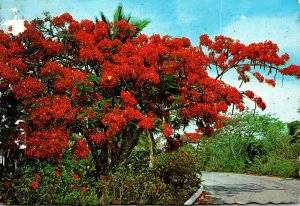 Puerto Rico National Flower Tree The Flamboyant Tree