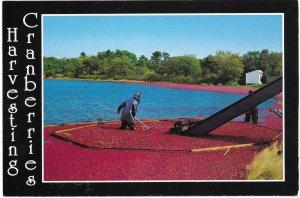 US. Massachusetts- Harvesting Cranberries.   Unused