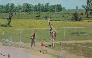 Giraffe,  Granby Zoological Garden,  Granby,  Quebec,  Canada,   40-60s