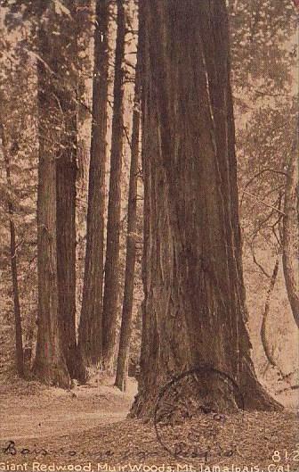 Giant Redwood Muirwoods Mountain Tamalpasi California 1913