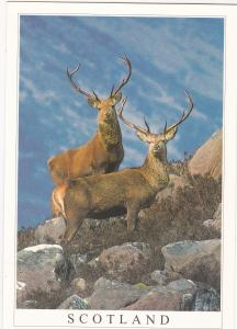 Postcard animals Red Deer Stags Scotland Stirling Gallery
