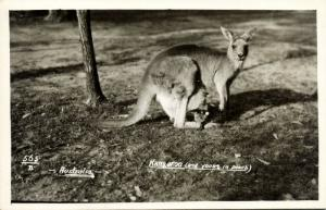 australia, Kangaroo and Young in Pouch (1940s) RPPC