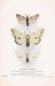 Fercula Argentina Spiritalis  Nymphalida Exotic Moths Antique Moth Postcard