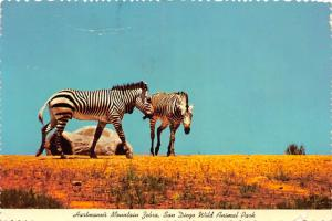 California - Hartmann's Mountain Zebra, San Diego Wild Animal Park