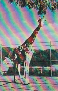 Giraffe San Francisco Zoological Gardens