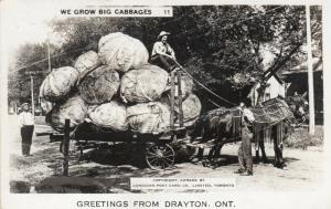 RP: DRAYTON  , Ontario , Canada , 1930s ; We Grow Big Cabbages