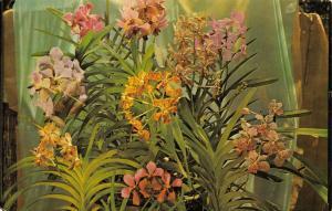 Vintage Postcard Vanda Hybrids, The Orchid Jungle, Florida, USA #469