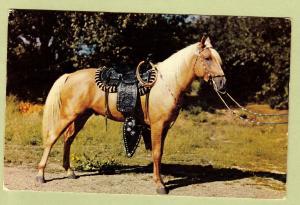 Lovely Palomino Parade Horse Postcard Vintage