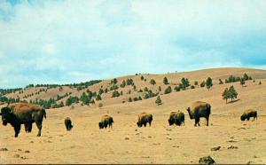 South Dakota Black Hills Custer State Park America's Largest Buffalo Her...