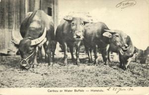 hawaii, HONOLULU, Caribou or Water Buffalo (1910) Stamp