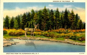 NY - Adirondacks, Deer